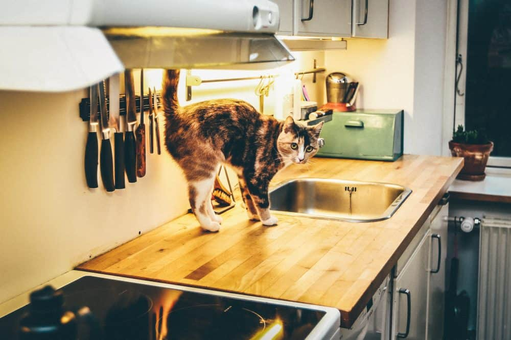 Cat in the Kitchen